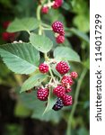 Blackberry Bush With Ripe And...