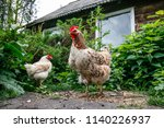 free chicken in ecological... | Shutterstock . vector #1140226937