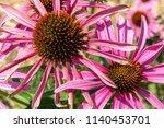 purple magnus coneflower in a... | Shutterstock . vector #1140453701