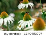 white echinacea flower in a... | Shutterstock . vector #1140453707