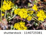 Frosted Buckwheat  Eriogonum...