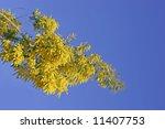 Small photo of Wattle tree, acacia adunca
