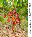 tree with cocoa pods | Shutterstock . vector #1140781787
