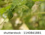 balsam apple is used to treat... | Shutterstock . vector #1140861881