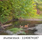Doe deer and two young fawn...