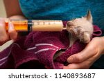 Stock photo a newborn feral kitten being nursed back to health with kitten formula in a basting syringe the 1140893687