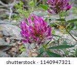 lilac flowers of clover on a... | Shutterstock . vector #1140947321