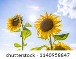 sunny day photo with sunflower... | Shutterstock . vector #1140958847