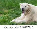 Male polar bear (Ursus maritimus) closeup with open mouth - stock photo