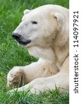 Male polar bear (Ursus maritimus) closeup profile - stock photo