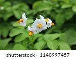 White Flowers Of Potatoes....
