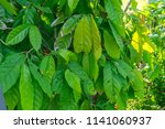 The Green Leave Of Cocoa Tree...