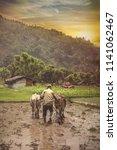 farmer using cattle to plough... | Shutterstock . vector #1141062467