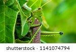 grasshoppers  acridians ...   Shutterstock . vector #1141074794