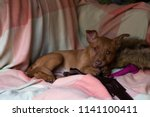 Stock photo puppy sleeping cute kelpie 1141100411