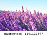 blooming lavender field in the... | Shutterstock . vector #1141121597