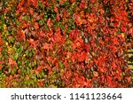 bright red leaves of wild wine  ... | Shutterstock . vector #1141123664