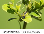 caterpillar of the box tree... | Shutterstock . vector #1141140107