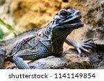 lizard in terrarium             ... | Shutterstock . vector #1141149854