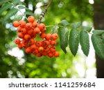Very Beautiful Red Rowanberry...