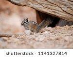 cute little chipmunk close up... | Shutterstock . vector #1141327814
