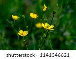 small wild meadow yellow... | Shutterstock . vector #1141346621