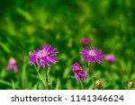 small wild meadow violet or... | Shutterstock . vector #1141346624