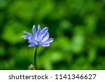 one wild flower of blue color... | Shutterstock . vector #1141346627