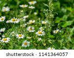 wild white flowers of a... | Shutterstock . vector #1141364057