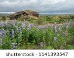 lupine flower in icelandic...   Shutterstock . vector #1141393547