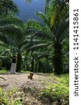 beautiful palm grove or forest. ... | Shutterstock . vector #1141415861