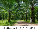 beautiful palm grove or forest. ... | Shutterstock . vector #1141415864
