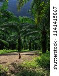 beautiful palm grove or forest. ... | Shutterstock . vector #1141415867