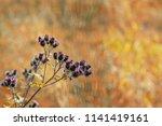 branch or bunch of wild prickly ... | Shutterstock . vector #1141419161