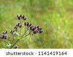 branch or bunch of wild prickly ... | Shutterstock . vector #1141419164