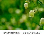 one branch of wild flowers of... | Shutterstock . vector #1141419167
