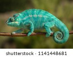 Amazing Chameleon On A Branch....