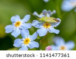 close up photo of blue forget... | Shutterstock . vector #1141477361