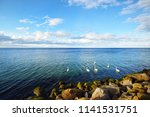 white swans on the sea near the ... | Shutterstock . vector #1141531751