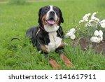 a purebred grosser schweizer... | Shutterstock . vector #1141617911