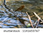 Dragonfly Lay Eggs Under Water...