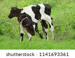 calf with green background  | Shutterstock . vector #1141693361