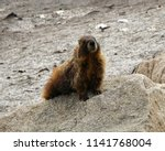 Marmot  On A  Granite ...