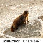 Cute Marmot  On A  Granite ...