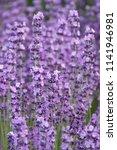 fieold of lavender  lavandula... | Shutterstock . vector #1141946981