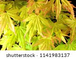 "japanese maple ""orange dream""... 