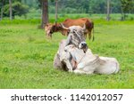 the white and brown brahman... | Shutterstock . vector #1142012057