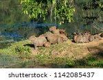 Family Of Capybaras ...