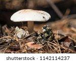 closeup of the little toadstool ...   Shutterstock . vector #1142114237