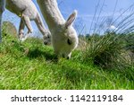 a white alpaca on a natural... | Shutterstock . vector #1142119184